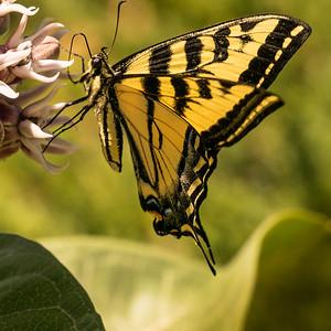Tiger Swallowtail 6848