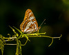 Lorquin's Admiral Butterfly on Branch