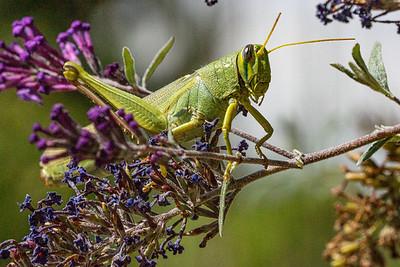 Grasshopper 4554