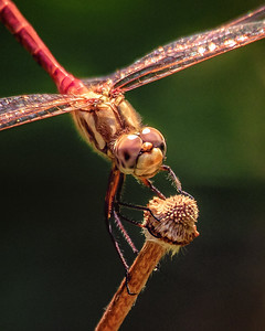 Dragonfly 0421