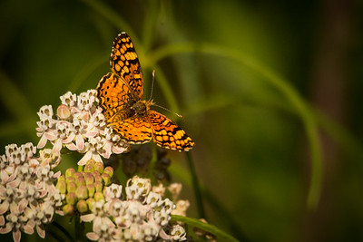 Checkerspot Butterfly 8402