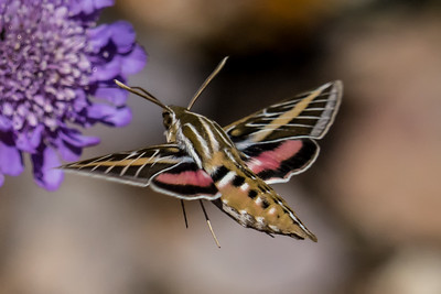 White-lined Sphinx Moth 9268