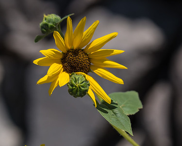 Sunflower 3657