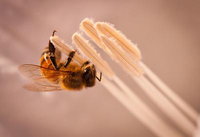 Bee on Jimson 9564