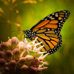 Monarch Butterfly 6848