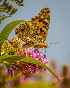 Painted Lady Butterfly 0397
