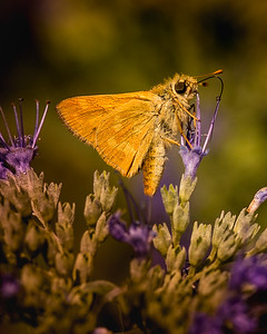 Woodland Skipper 0346