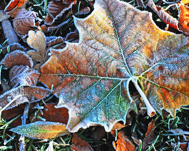 Sycamore Leaf with Frost