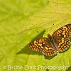 Northern Checkerspot, Pend D'Orielle River valley, south of Trail, B.C.