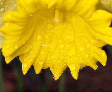 Daffodil after the Rain