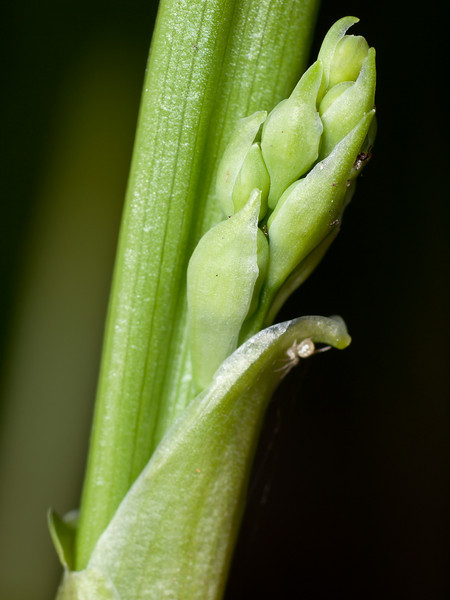 April 21 - Lily of the Valley flower buds and an surprise visitor.  OM 90mm + 25mm extension tube + T10 ring flash.