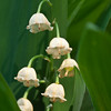 May 25 in the Lily of the Valley lifecycle study.