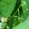 June 6 - Lily of the Valley - a single drenched blossom clings to its stem because of the berry underneath it.