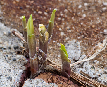 April 5 - Lily of the Valley coming along nicely, these guys are very determined.