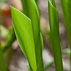 April 21 - Lily of the Valley leaves unfurling.
