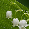 May 14 in the Lily of the Valley lifecycle study.