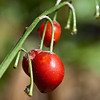Sept 14 - Lily of the Valley - berries are ripening.