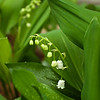 May 3 - Lily of the Valley - the blossoms bloom from bottom to top.  Already the smell is heavenly even with relatively few open.  OM 35mm f2 for a change.