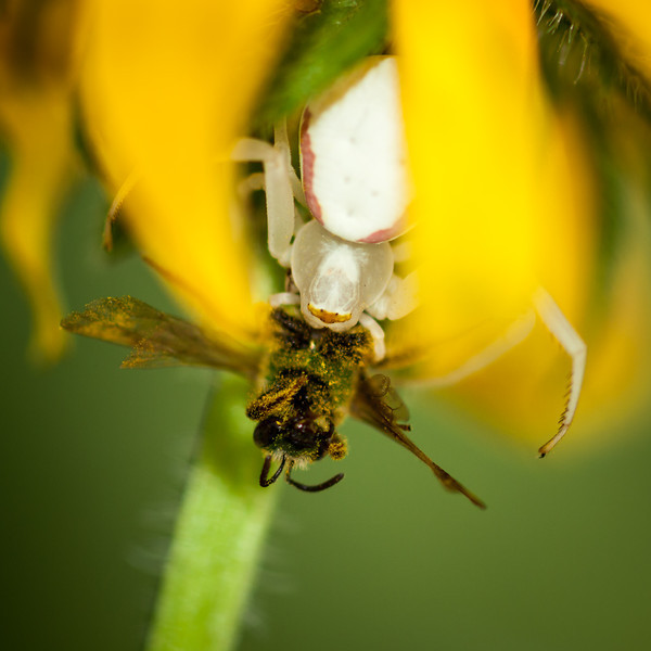 A crab spider snags lunch. Shot w/the OM 90mm and ring flash (RiP). She was determined not to be photographed, but I persevered.