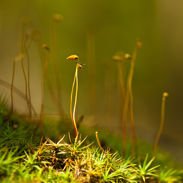Moss spores in a tiny ray of sunlight.  I think that's a stone fly on top of one, just millimeters long.  Shot w/the OM 90mm f2 legacy macro at about f11
