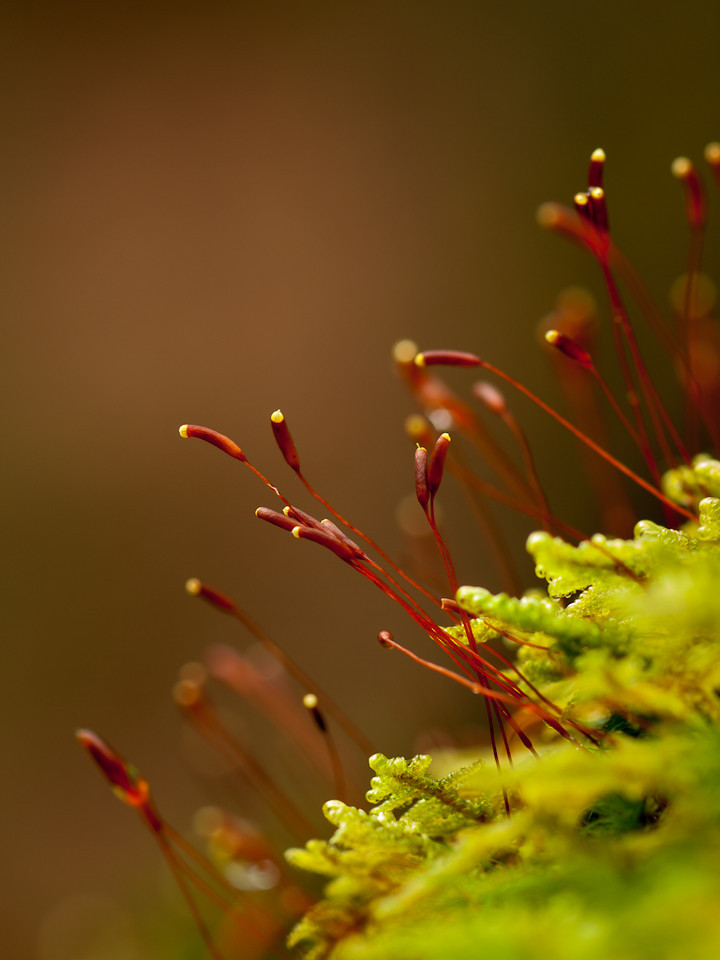 More sporophyte adventures.  This messy little band were on a rock overlooking Pulpit Brook.  OM 90mm at about f4.