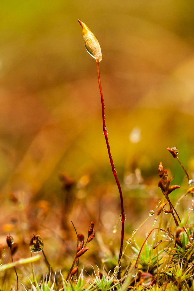 sporophytes after the rain. Of course I had to go in the yard to find them. So fab. OM 90mm at probably f8.