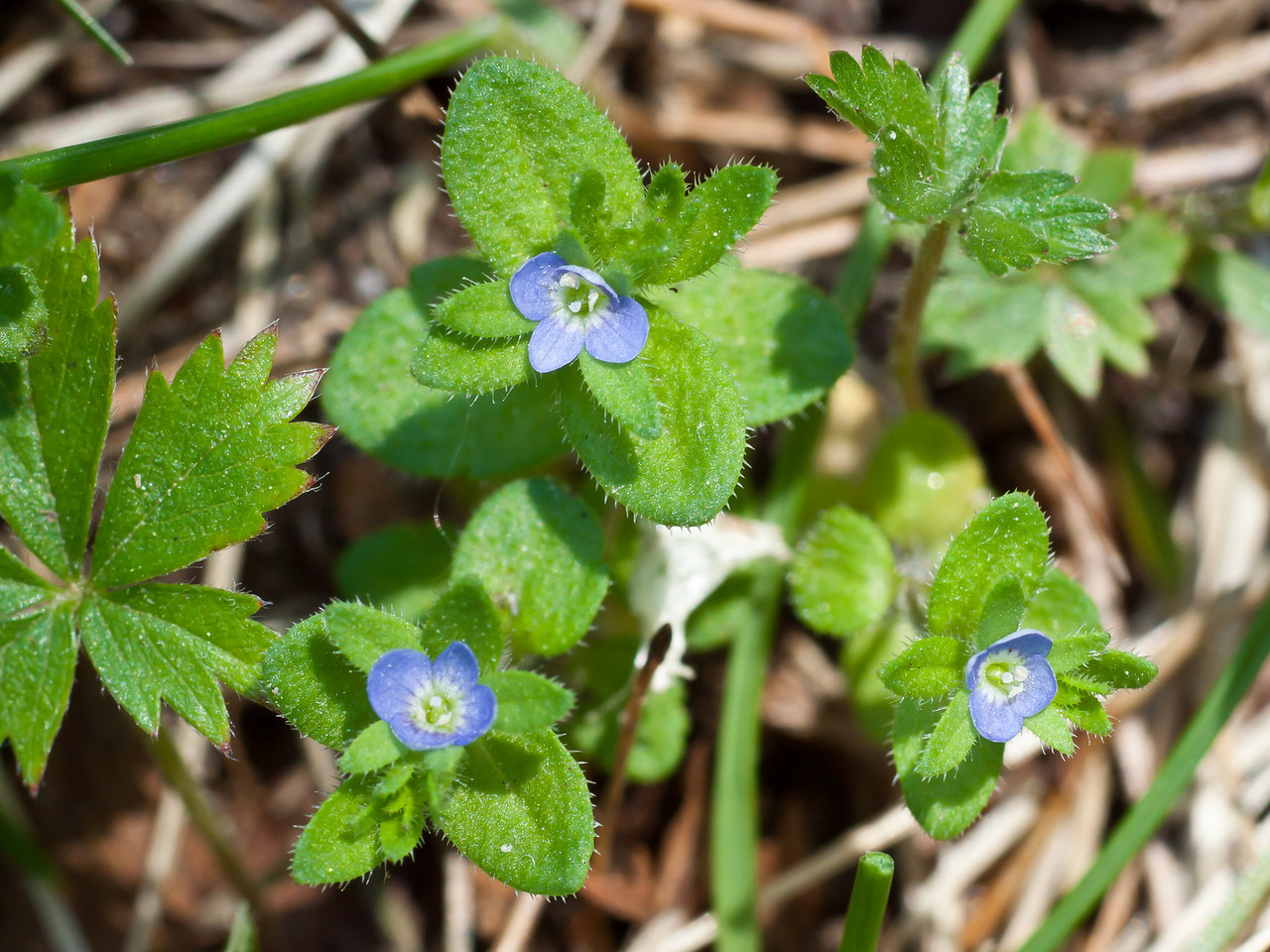 Corn speedwell - under the lawnmower blade