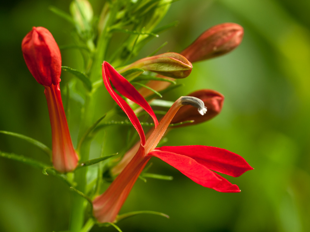 Cardinal flower close up with the OM 90mm macro at about f8.  They just started blooming.
