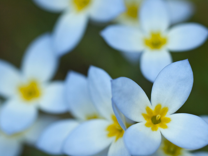 Bluets in my yard.  I've always loved these guys and wanted to treat them differently than other photos I've seen so I chose to focus on their dreaminess.  OM 90mm macro + 25mm extenstion tube.