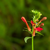 Cardinal flower at the beginning of its blooming.  No hummingbirds yet.