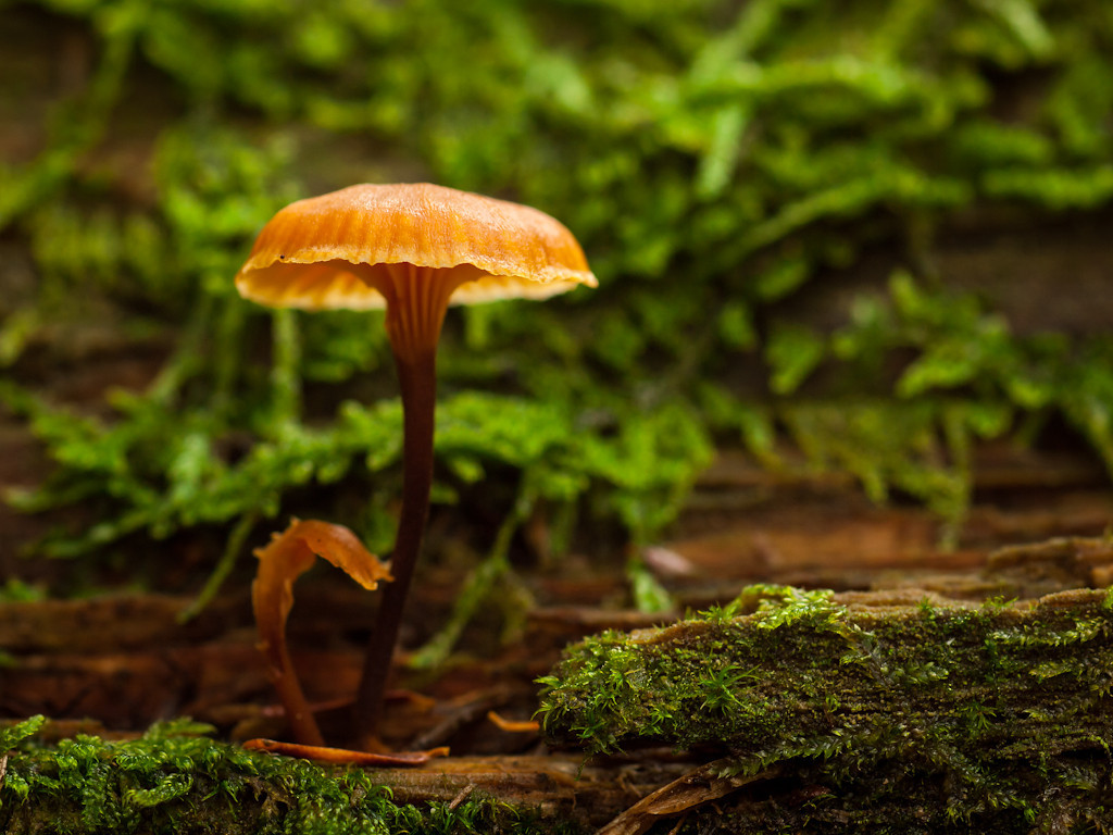 Tons of these little orange guys were growing on downed trees by Cold Brook. While there were big swaths of them, I preferred this loner. OM 90mm at f8.