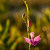 Grass pink orchid in Ponemah bog at sunrise.  I lucked out and got dew, too.  OM 90mm at about f5.6