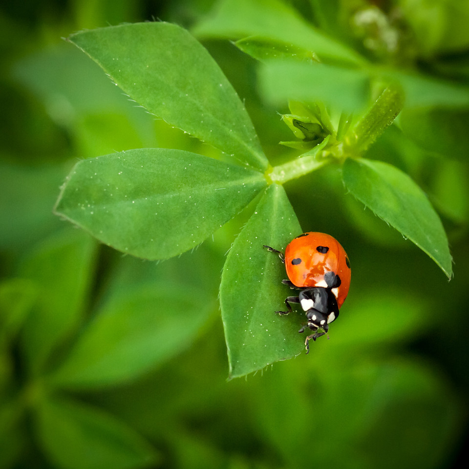 For a while I watched some ladybugs hunting.  They are ruthless and efficient and it's pretty funny to watch them pounce.  This one was almost constantly on the move and it was sheer luck I got one clear shot.