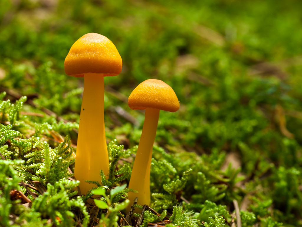 I found these two plus a bunch of friends on a trail in Pawtuckaway.  I think they're a type of Cantharellus.  The little bit of sun brought out the texture of these sunny little 'shrooms.