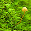 I'm always enchanted with these very tiny mushrooms and you know how I love moss.  So I had to stop on the trail in Bear Brook State park to shoot this one.  Used the OM 90mm f2 legacy macro.  This is probably f8.