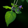 backlit nightshade in my yard.