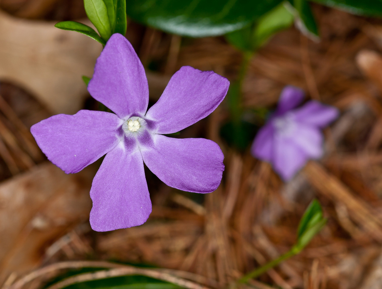 Vinca Minor aka Periwinkle is one of my favorite ground covers.  I sort of hope it takes over my lawn.  Who needs lawn?  OM 90mm macro & T10 Ring Flash, probably f8
