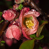 Quince blossoms in the rain.  Learning to master my T10 Ring flash (all manual) with my digital rig.  OM 90mm macro again, probably f11.
