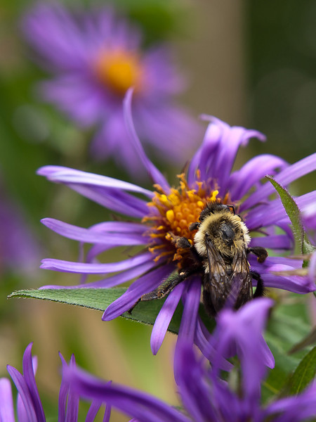 While out for a walk with my flickr friend Ed Bolton, I noticed lots of bumblebees on the asters.  It was a cold day for them and they were unhappy girls.  It made them cooperative models though.