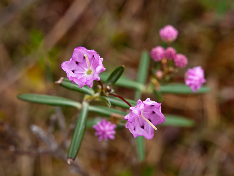 Bog laurel flowers are like sheep laurel, but the rest of the plant is very different.  They're just starting to bloom in Ponemah Bog.