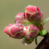 flowering quince blossoms - after the rain.  OM 90mm macro @ f8 w/25mm extension tube.