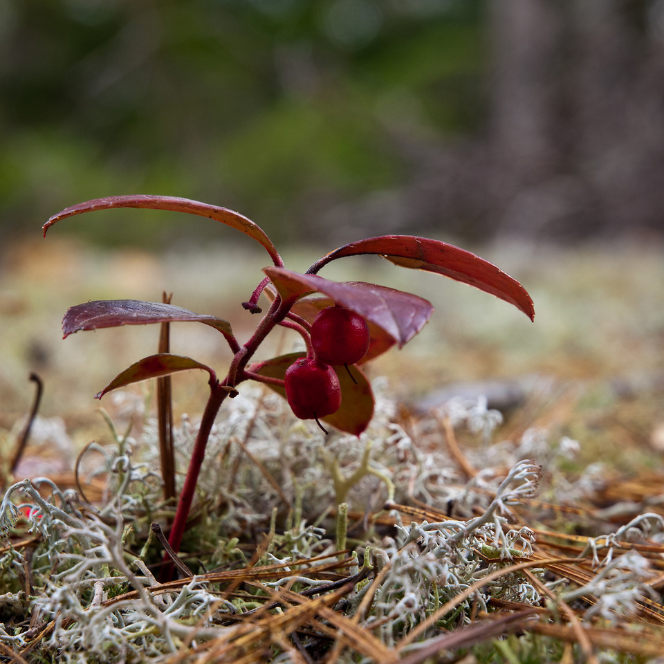 Overwintered fruit at Pulpit Rock Conservation area