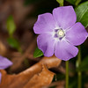 periwinkle is one of my favorite ground covers.  I sort of hope it takes over my lawn.  Who needs lawn?  OM 90mm macro & T10 Ring Flash, probably f8