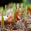April 8 in the Lily of the Valley lifecycle study.  The rain and the sun are doing their work while oak leaves persist.
