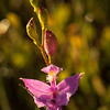 Grass pink orchid in Ponemah bog at sunrise.  I lucked out and got dew, too.  OM 90mm at about f8