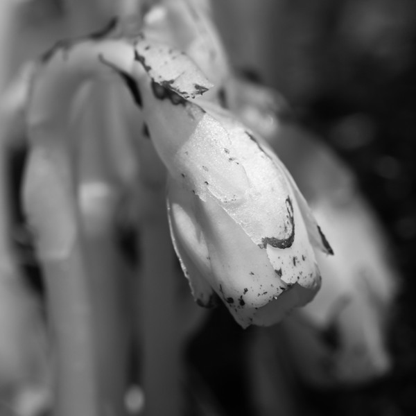 this portrait of indian pipe flowers cried out for a B&W conversion.  a square crop suited it as well.  Shot with the legacy OM 90mm f2 macro lens at probably f8 or so.