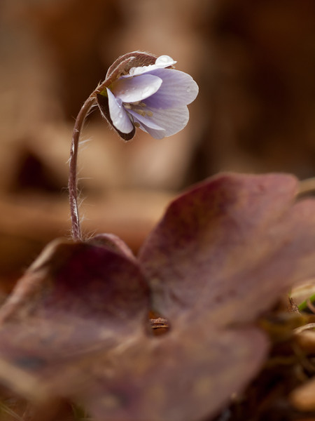 Another shot of hepatica and one of last year's leaves.  This time the flower has lavender petals.  Shot w/the OM 90mm f2 macro at probably f8.