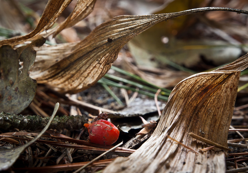 Oct 1 - Lily of the Valley - fallen berry amongst the detritus.  I love the tones and the leaf shapes in this one.  Only partly manipulated by me, mostly as found.