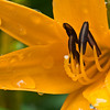 Lily in my garden.