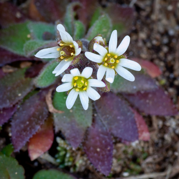 "Tiny (1-2"" tall) white flowers - the first to bloom every spring, they provide much needed pollen for insects."